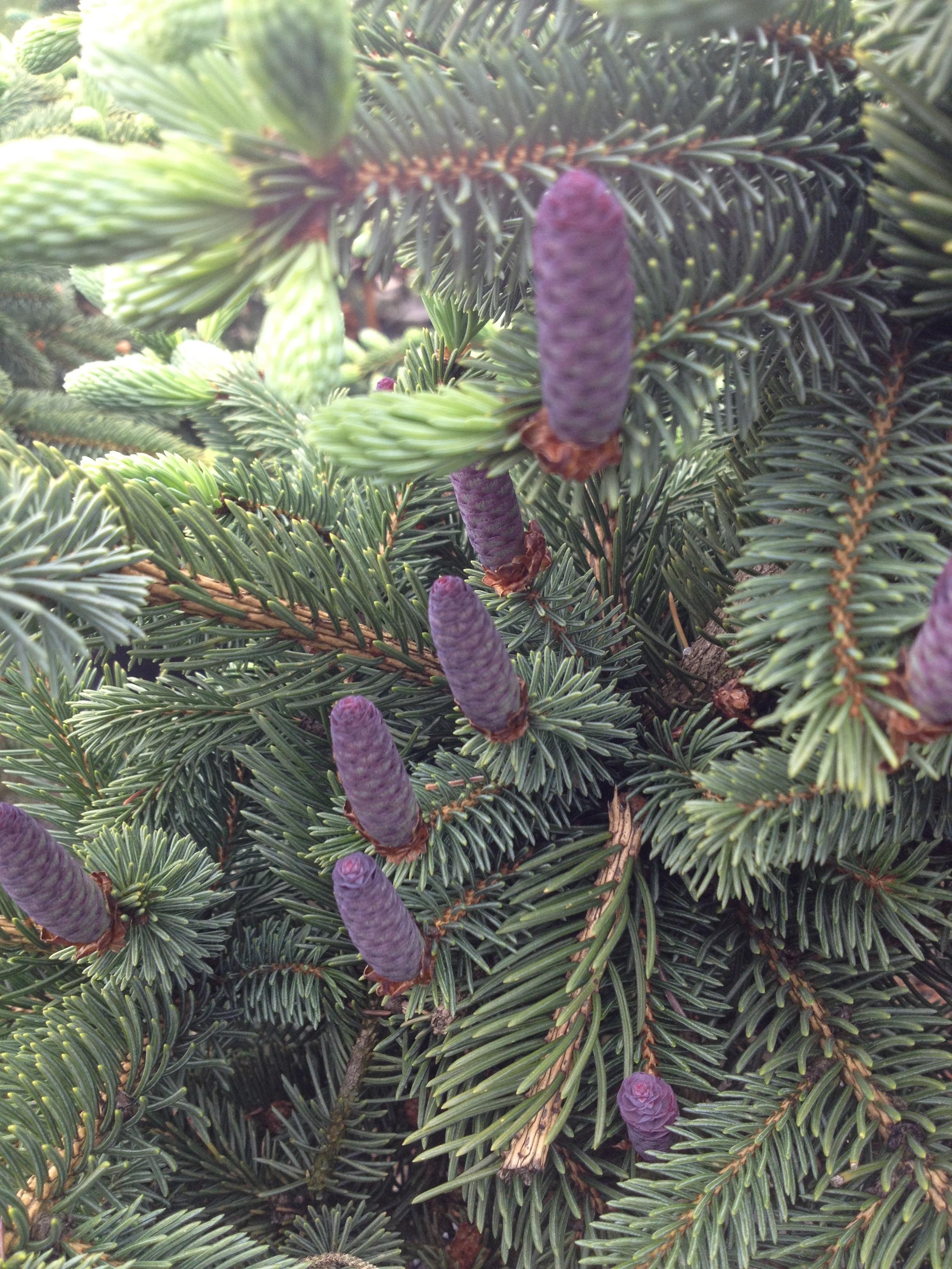 Picea asperata Glauca