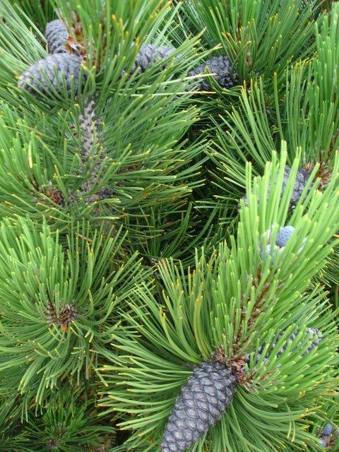 Pinus heldreichii Malinki