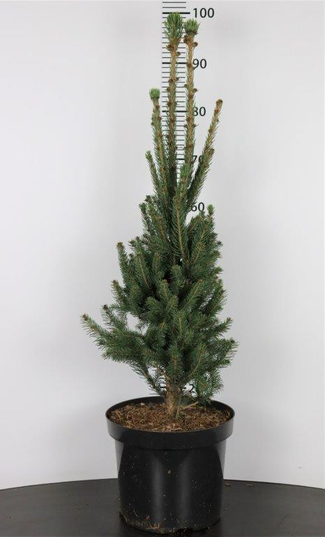 Picea abies Cupressina (Fastigiata)