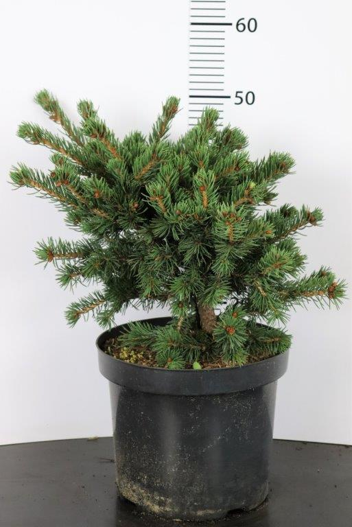 Picea pungens Lucky Strike