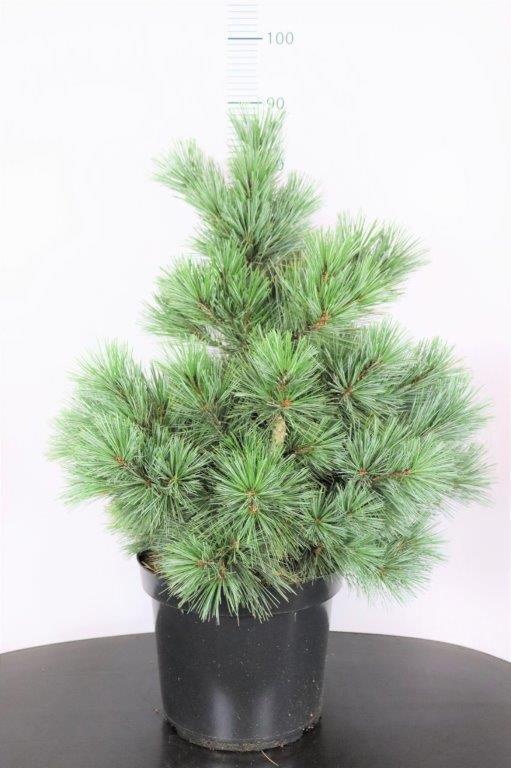Pinus flexilis Pygmaea