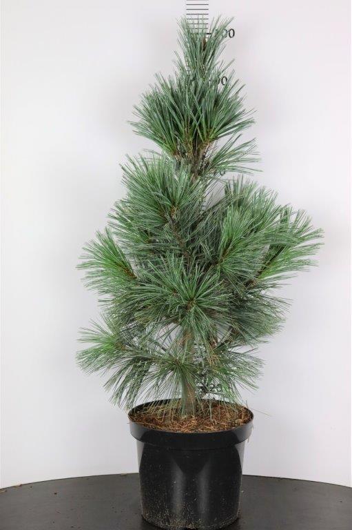 Pinus flexilis Vanderwolf's Pyramid