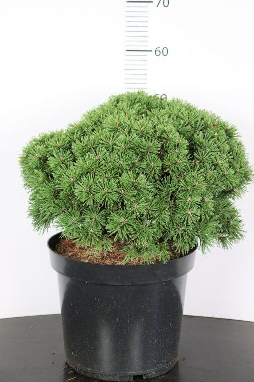 Pinus mugo Benjamin
