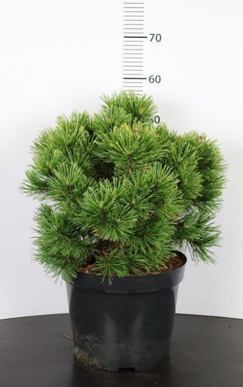 Pinus mugo Golden Glow