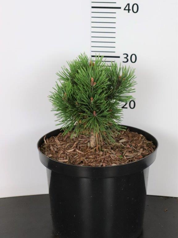 Pinus mugo Gnom