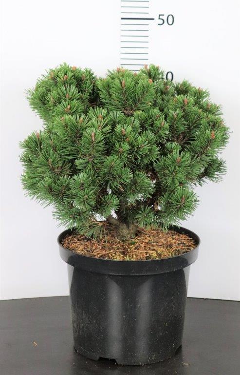 Pinus mugo Mops (selectie)