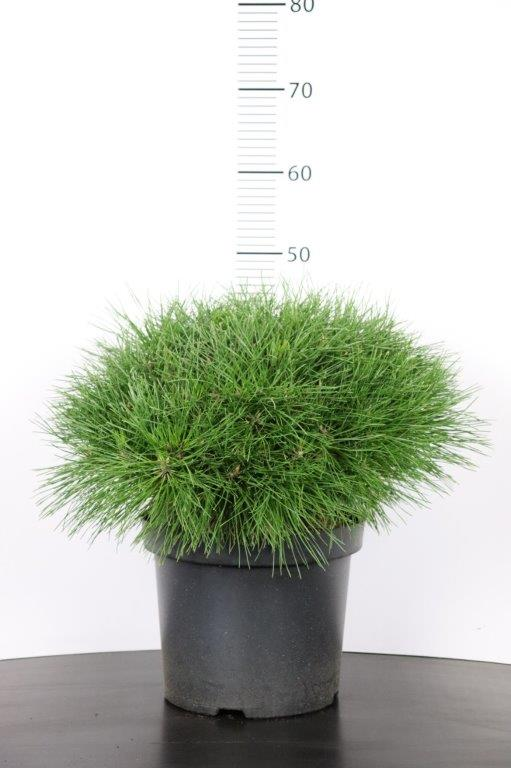 Pinus nigra Benelux