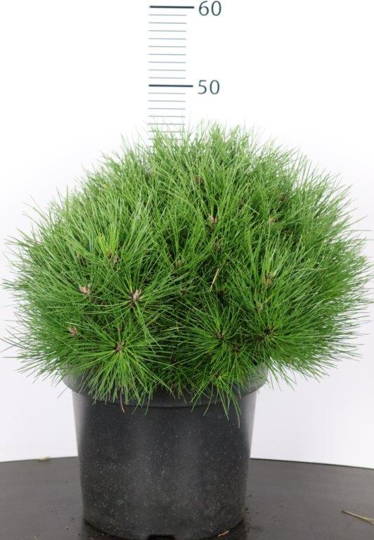 Pinus nigra Benelux XS