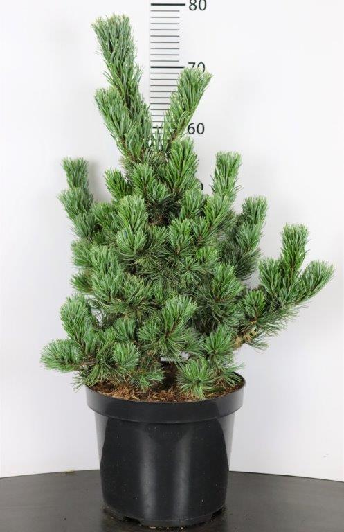 Pinus parviflora Aro-Kawa