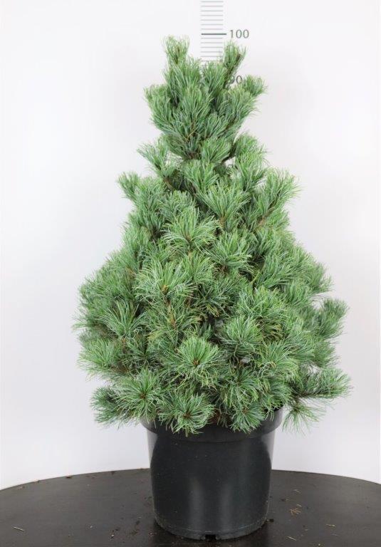 Pinus parviflora Bonnie Bergmann