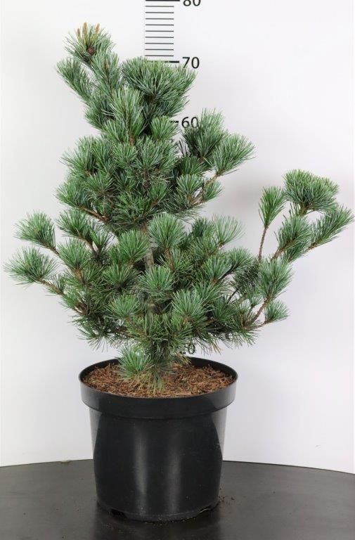 Pinus parviflora Negishii