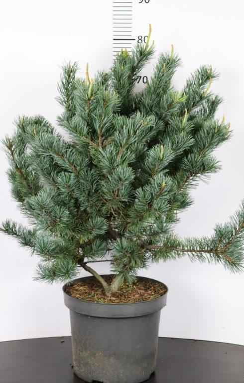 Pinus parviflora Saphir (pré bonsai)