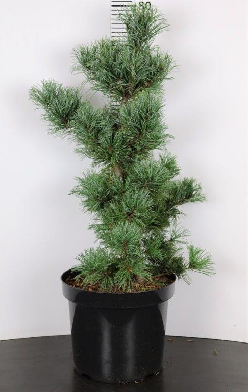 Pinus parviflora Schoon's Bonsai