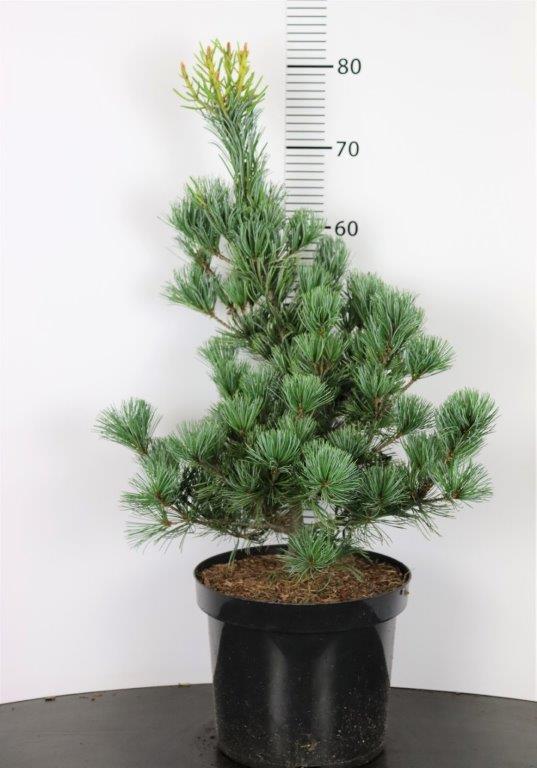 Pinus parviflora Tempelhof