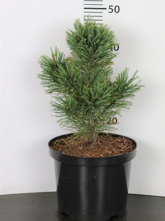Pinus pumila Chlorocarpa