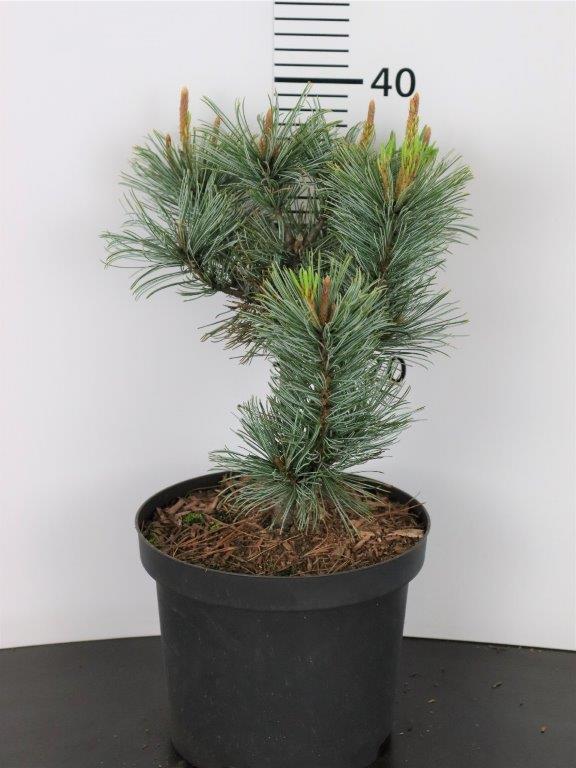 Pinus pumila Glauca