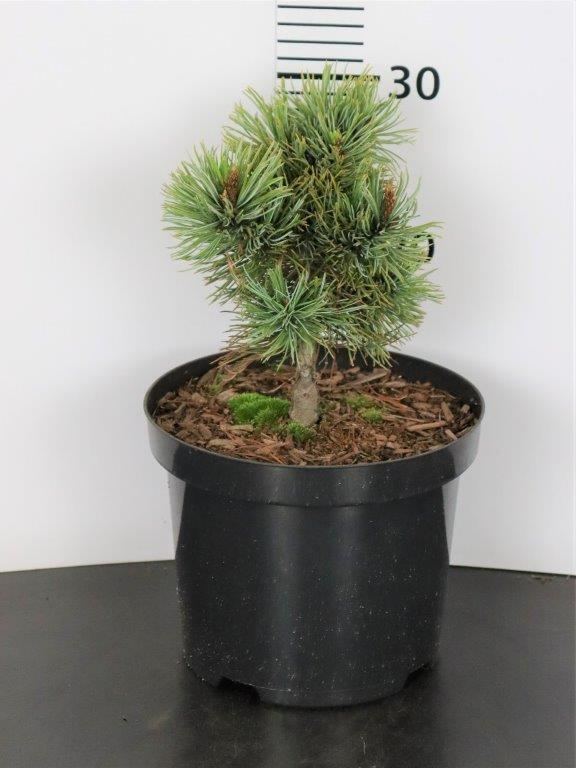 Pinus pumila Park