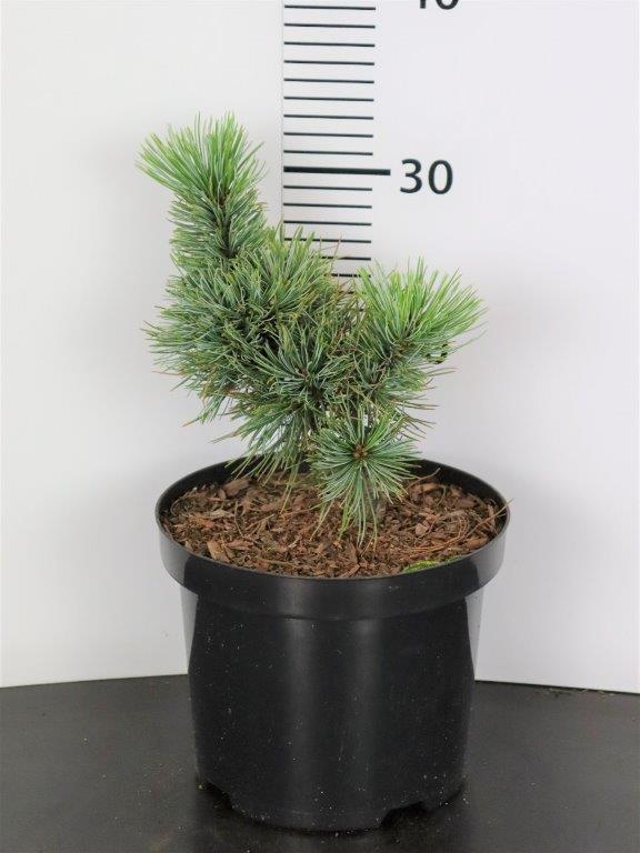 Pinus pumila Vete-Haka